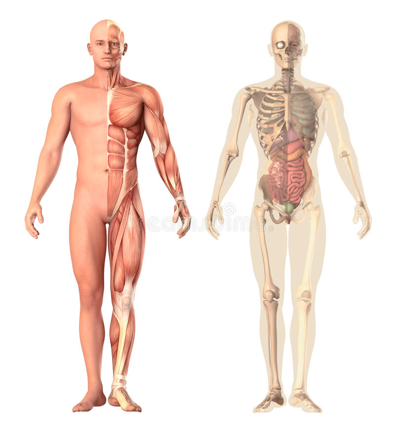 Medical illustration of a human anatomy transparency, view. The skeleton, muscles, internal organs showing separate parts. Isolated on white background. 3d royalty free illustration