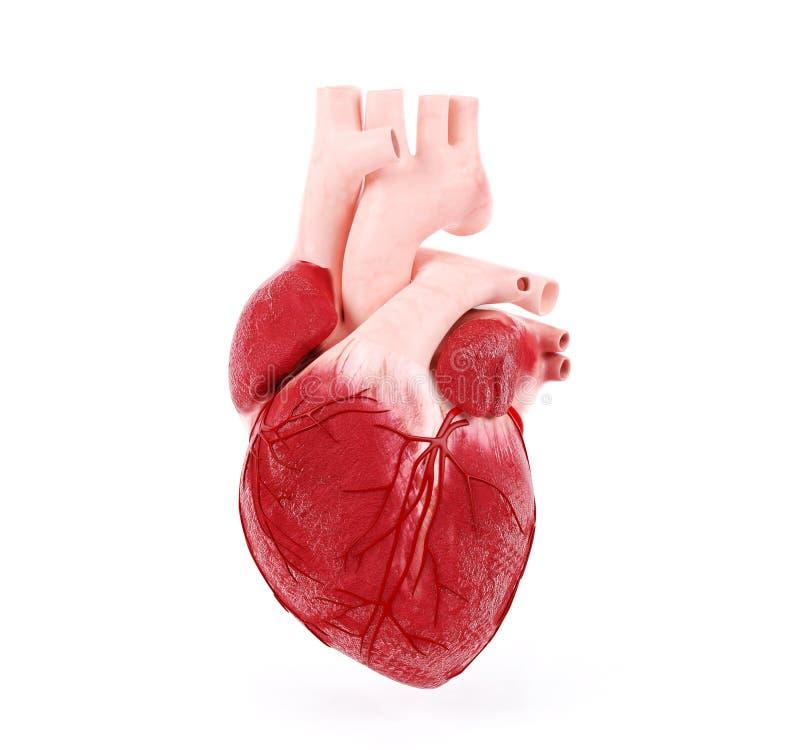 Medical illustration of a human heart royalty free stock photos