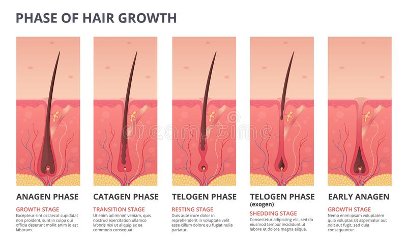 Medical infographic illustrations of hair growth cycle. Vector pictures of human biology. Hair human banner, anatomy root follicle vector illustration