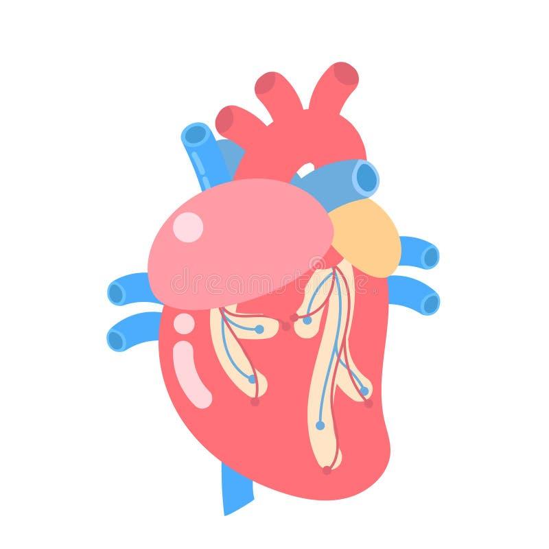 Medical internal organs body part nervous system anatomy surgery human heart health care. Medical internal organs body part nervous system anatomy surgery human vector illustration