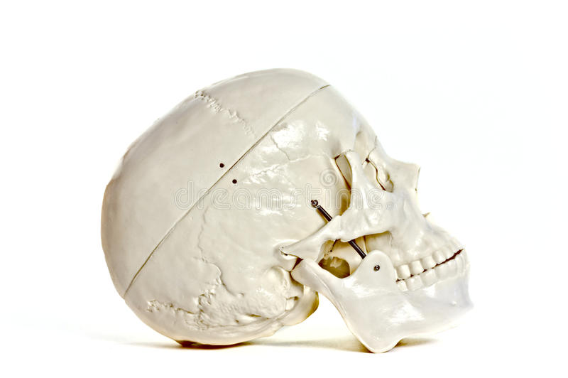 Skull on white background. Medical learning skull laying on a white background royalty free stock photography