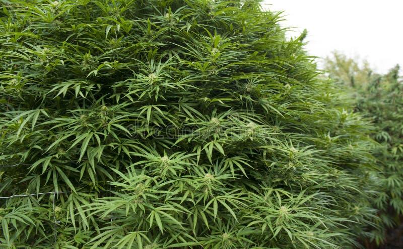 Medical marijuana, legal in California. A large marijuana plant, legally grown in California royalty free stock photo