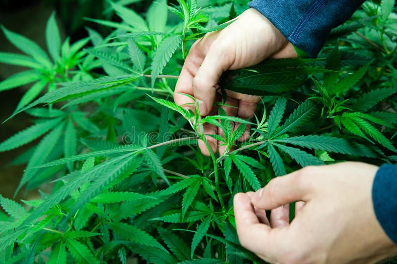 Medical marijuana plants with hands stock photography
