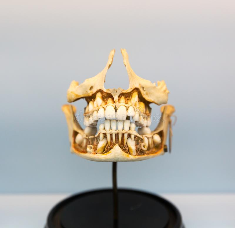Model of human jaw on the stand, anatomy. Medical model of the human jaw on the stand. Learning of the human mouth structure. Anatomy, teeth education concept stock image