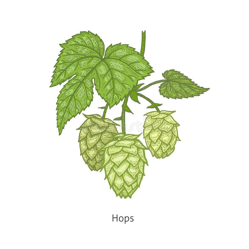 Medical plant Hops. Hops plant colorful. Medical herbs and plants Isolated on white background series. Vector illustration. Art sketch. Hand drawing object of vector illustration