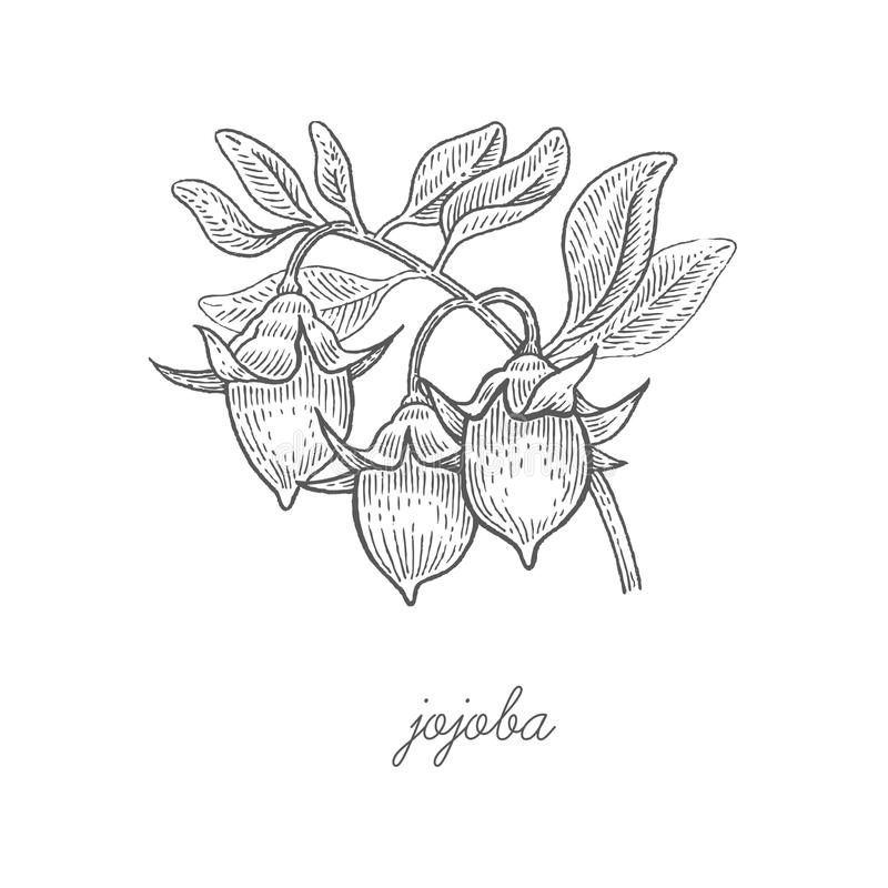 Medical plant Jojoba. royalty free illustration