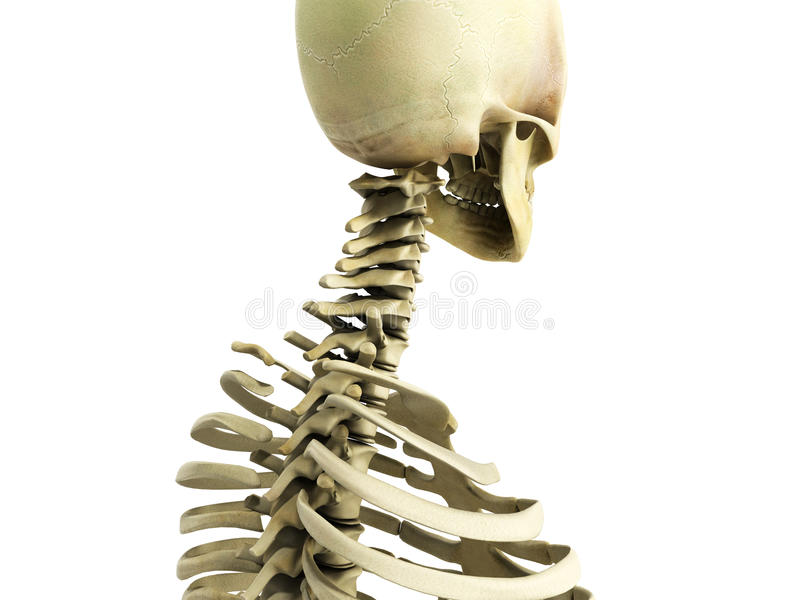 Medically accurate 3d illustration of the skeletal system the ce. Rvical royalty free illustration