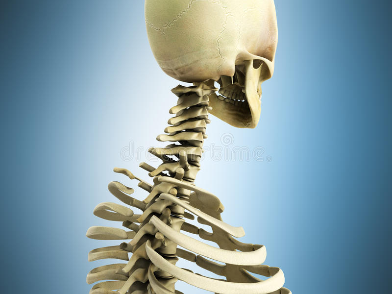 Medically accurate 3d illustration of the skeletal system the ce stock illustration