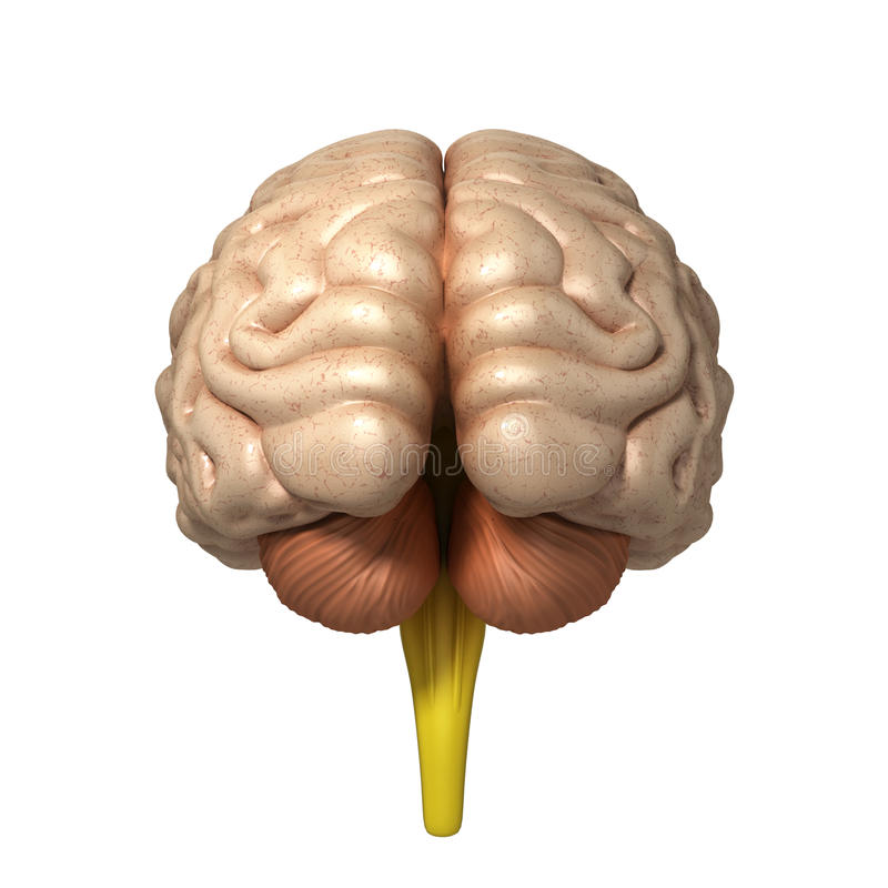Medically accurate illustration of the brain 3d render. Medically accurate illustration of the brain royalty free illustration