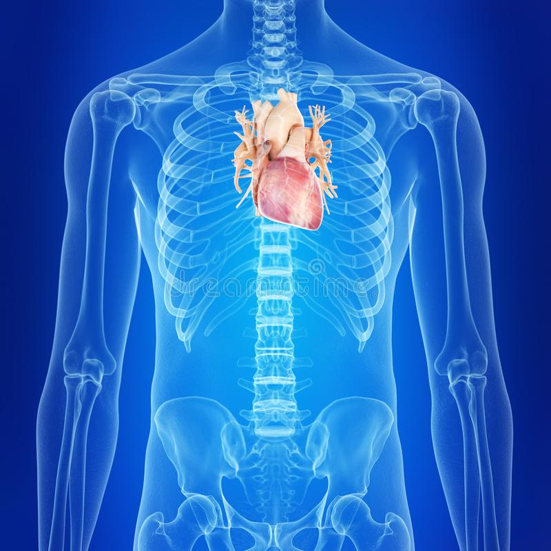 The human heart. Medically accurate illustration of the human heart vector illustration