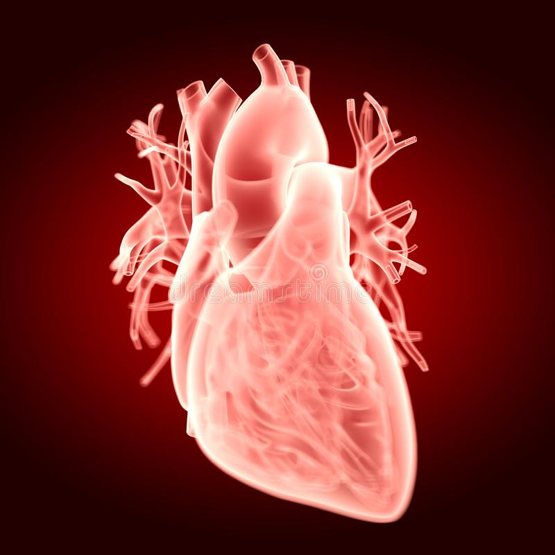 The human heart. Medically accurate illustration of the human heart stock illustration