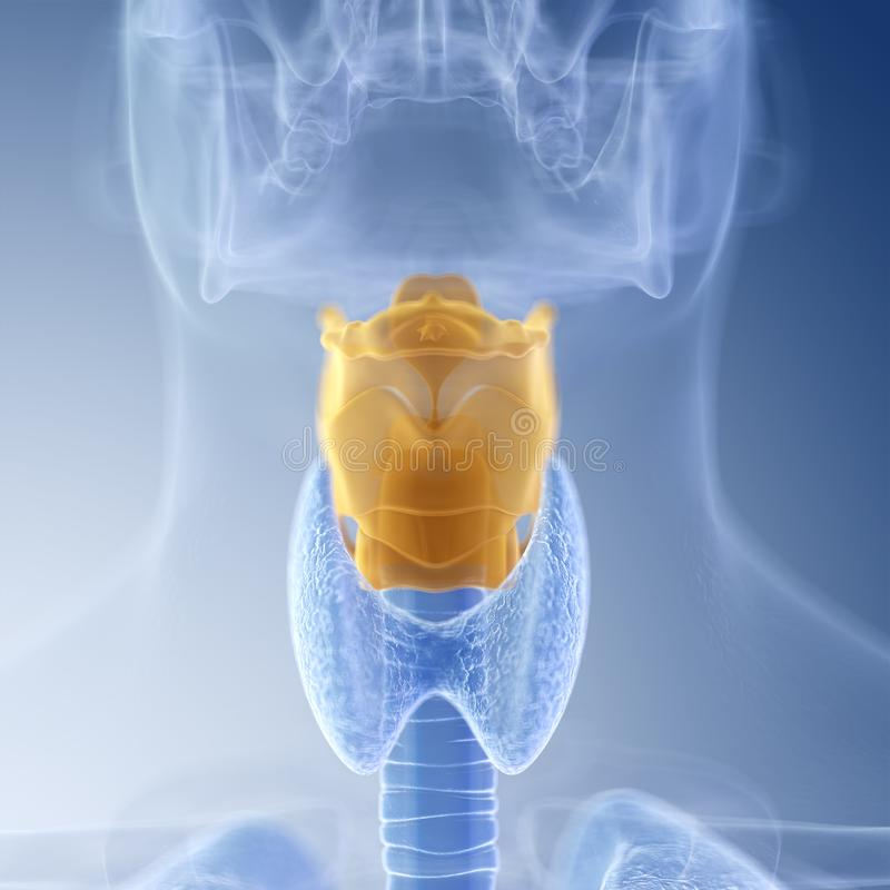 The larynx. Medically accurate illustration of the larynx vector illustration