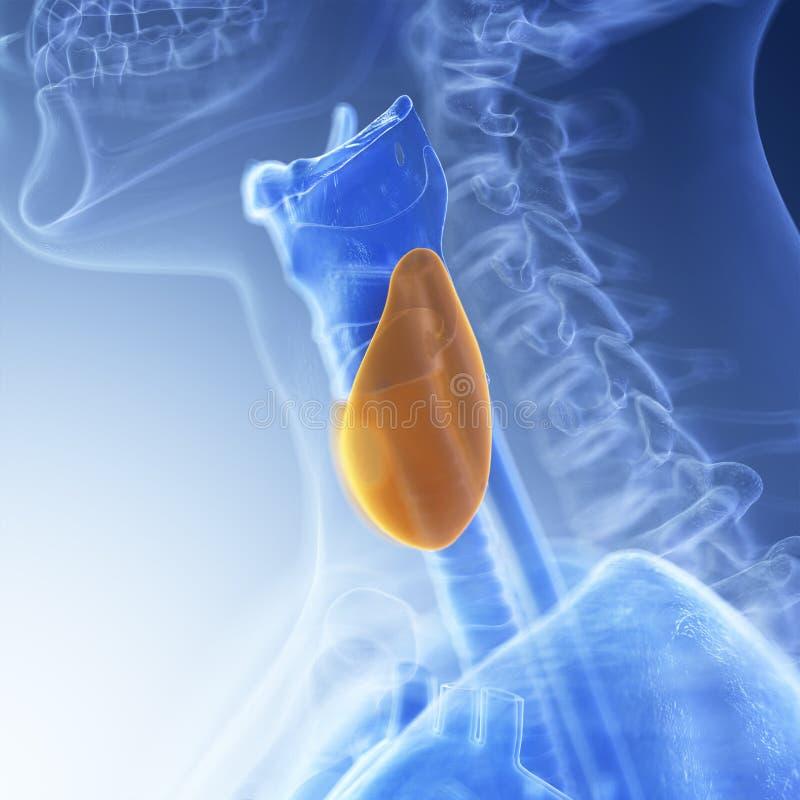 The thyroid stock illustration