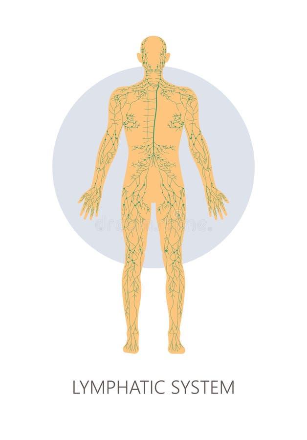 Medicina aislada y atención sanitaria de la estructura anatómica del sistema linfático stock de ilustración
