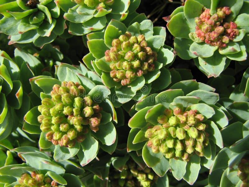 Medicina herbaria - roseroot foto de archivo libre de regalías