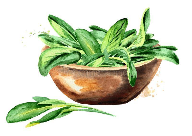 Medicinal and cosmetics herb Salvia officinalis. Bowl with sage green leaves. Hand drawn watercolor illustration isolated on white. Background vector illustration