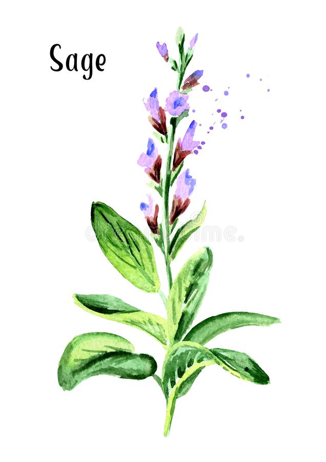 Medicinal and cosmetics herb Salvia officinalis. Plant sage with flower and green leaves. Hand drawn watercolor illustration isola. Ted on white background stock illustration