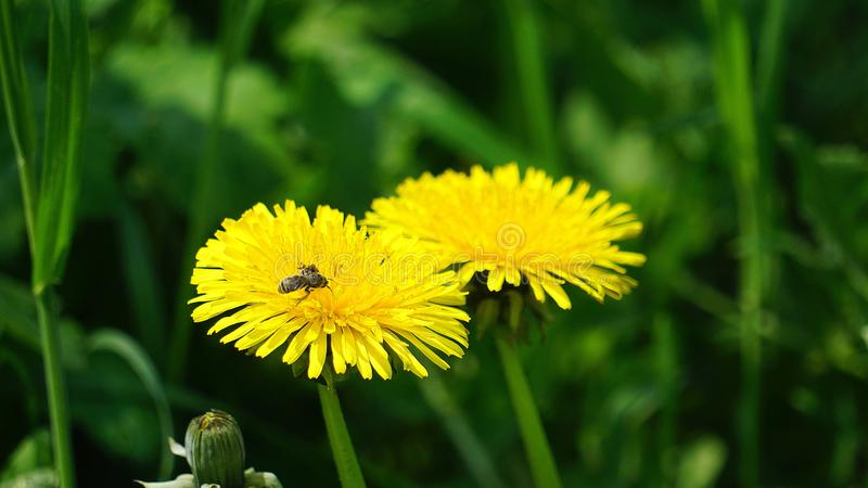 The medicinal dandelion grows in the grass stock image