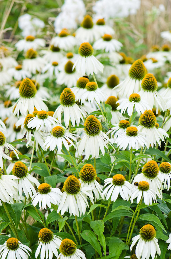 Download Medicinal Herb Echinacea Purpurea Or Coneflower, Close-u Stock Image - Image of flower, field: 34112649