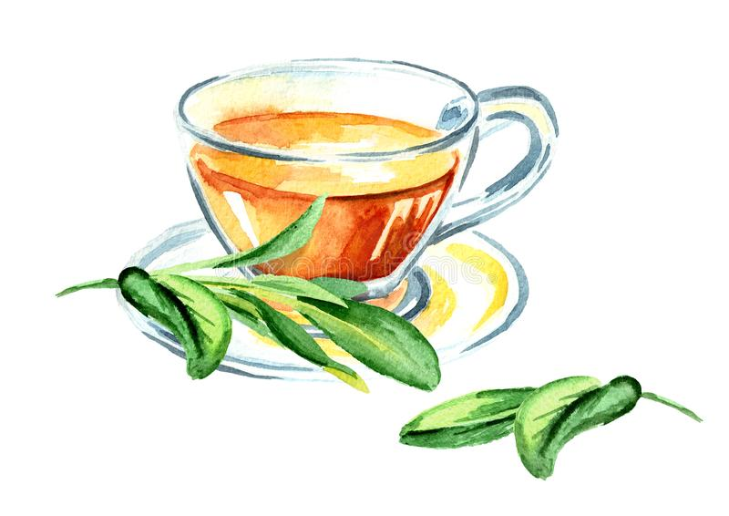 Medicinal herb Salvia officinalis. Cup of medical tea. Infusion made from sage leaves. Hand drawn watercolor illustration, isolat. Ed on white background stock illustration