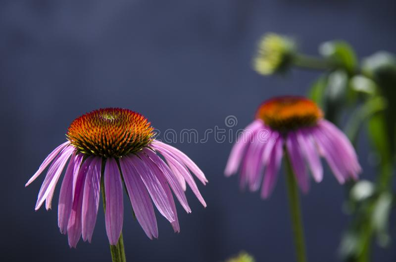 Medicinal herbs. The flower is echinacea with pink petals on a gray background stock image