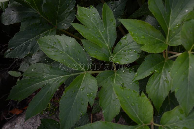 Angelika keiskei / Japanese Ashitaba. Medicinal herbs of longevity `Angelica keiskei` Japanese Ashitaba stock photos