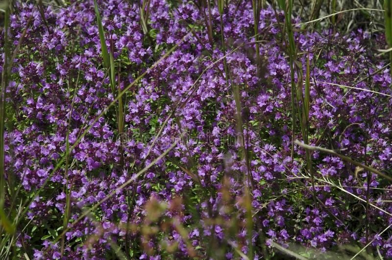 Medicinal herbs: purple flowers of thyme grass under the rays of the sun royalty free stock images