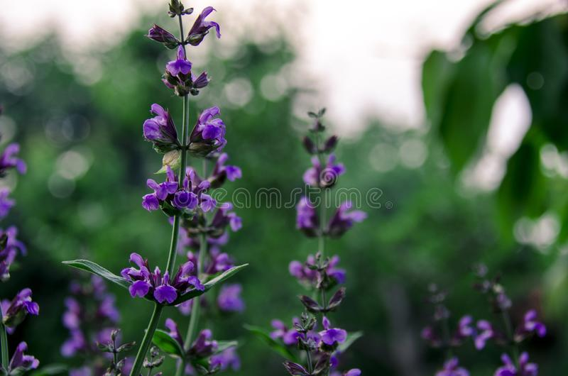 Medicinal herbs: Sage shrub with green leaves and purple flowers grows in the garden next to the cherry tree. Amid the stormy sky plant violet beauty bloom stock image