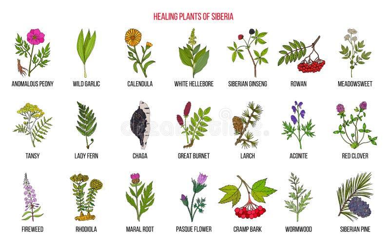Medicinal herbs of Siberia. Hand drawn botanical vector illustration royalty free illustration