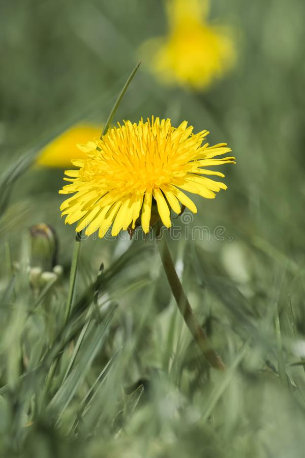 Medicinal herbs: Yellow dandelion on green blurred background stock photography