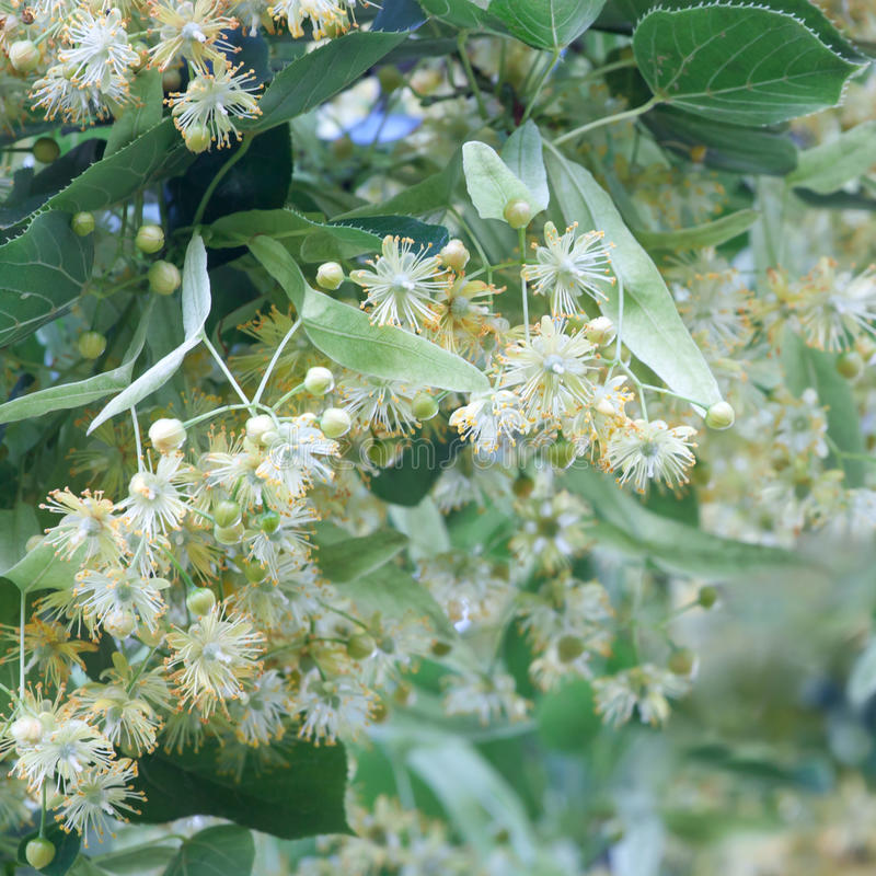 Medicinal lime blossom royalty free stock image