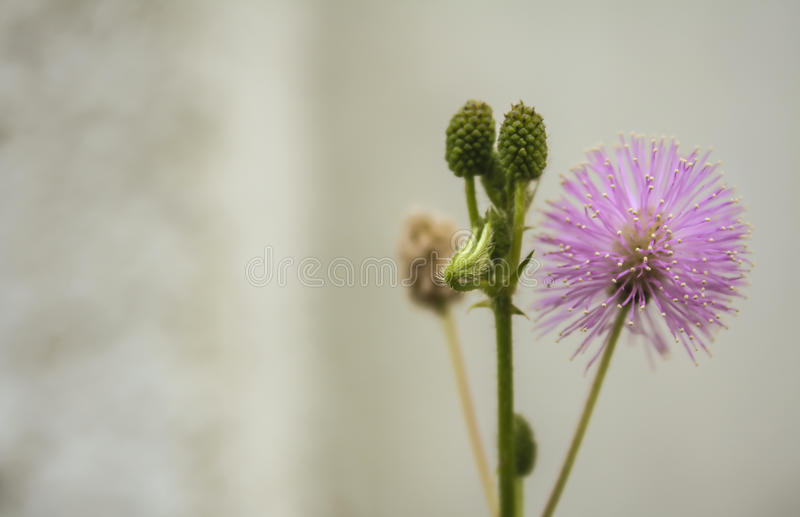 Medicinal Mimosa pudica flower on white background.  stock photos