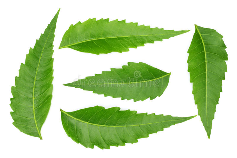 Medicinal neem leaves stock photography