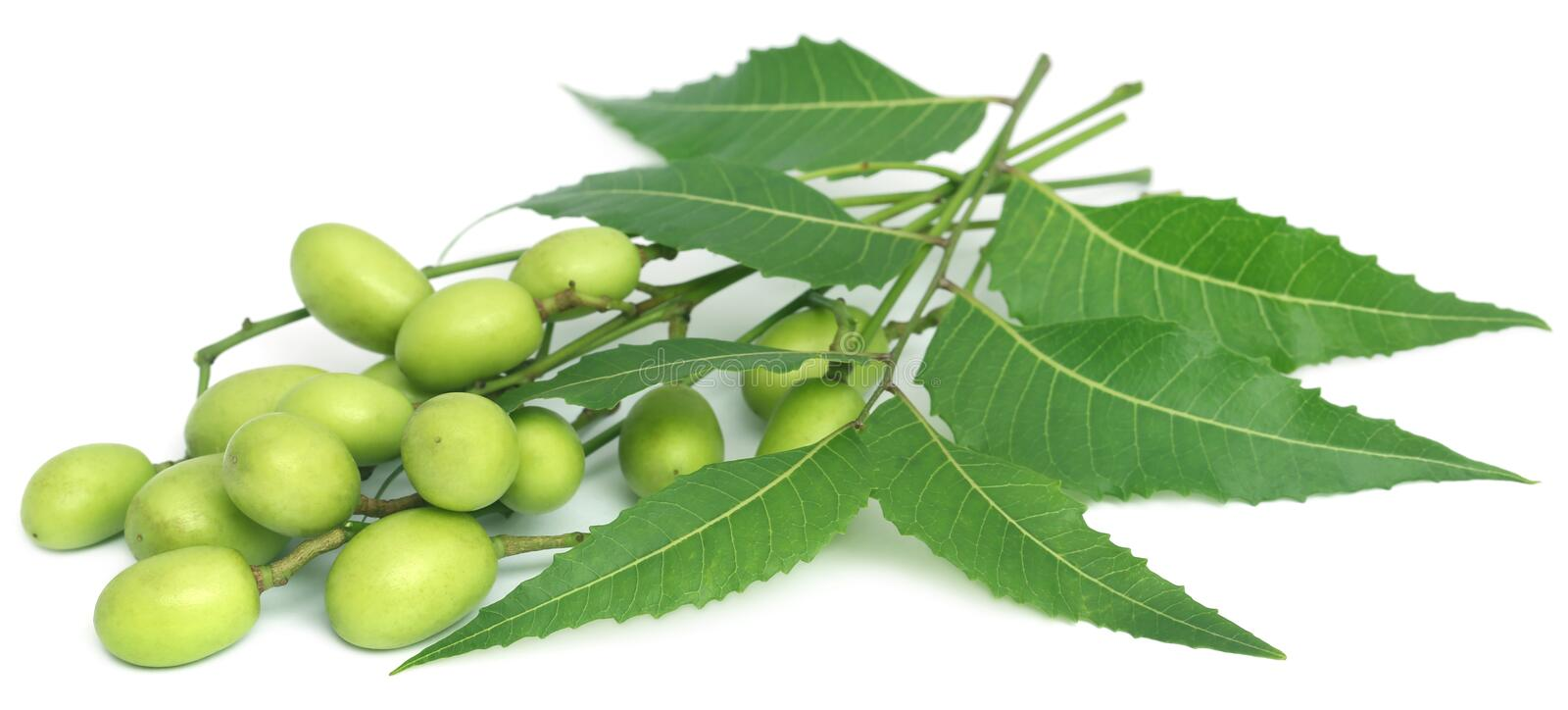 Neem Stock Images - Download 2,746 Royalty Free Photos