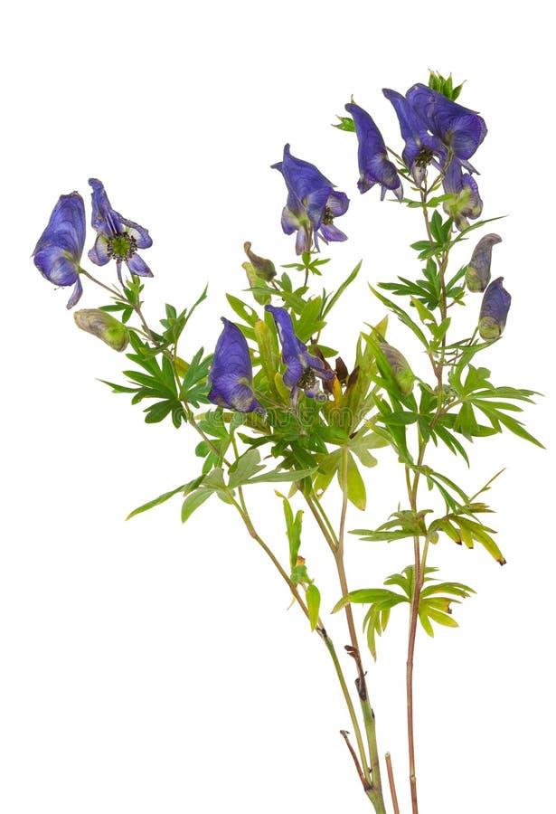 Free Medicinal Plant: Aconite Royalty Free Stock Image - 63237546