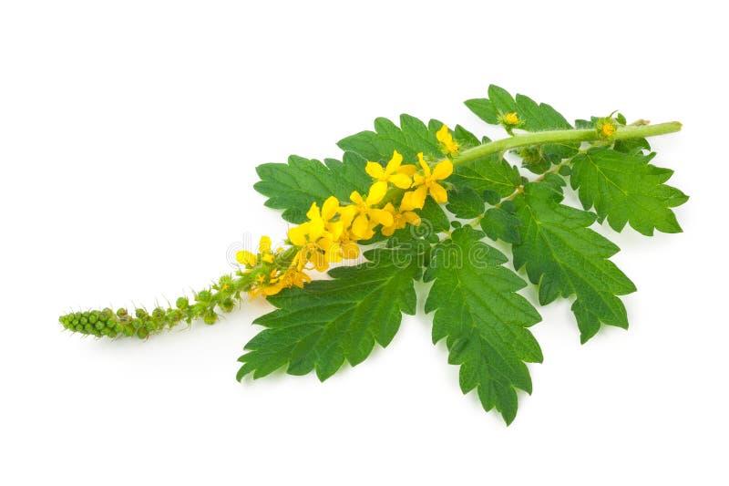 Medicinal plant:Agrimonia eupatoria. Common agrimony royalty free stock photo