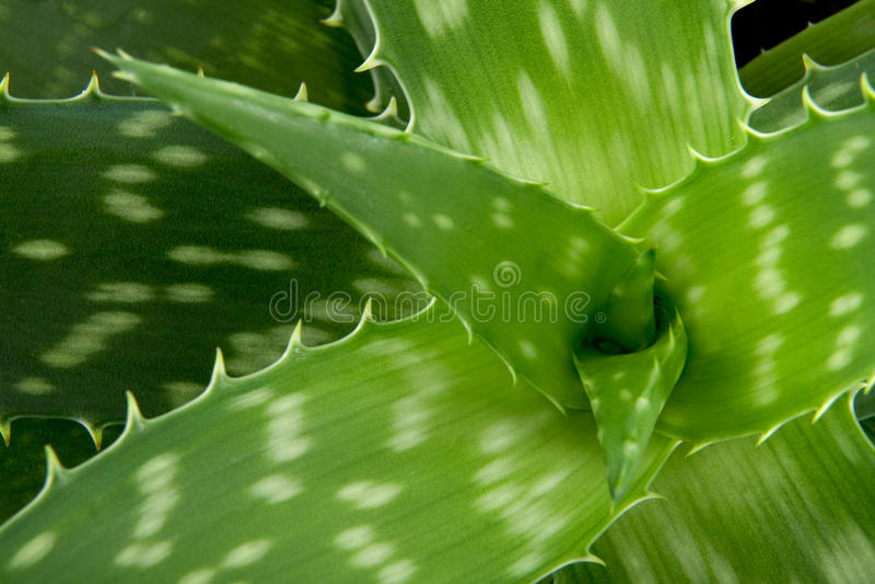 Aloe Vera detail royalty free stock photo