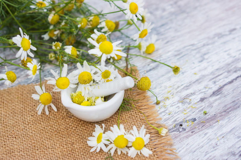 Medicinal plant camomile. With mortar stock image