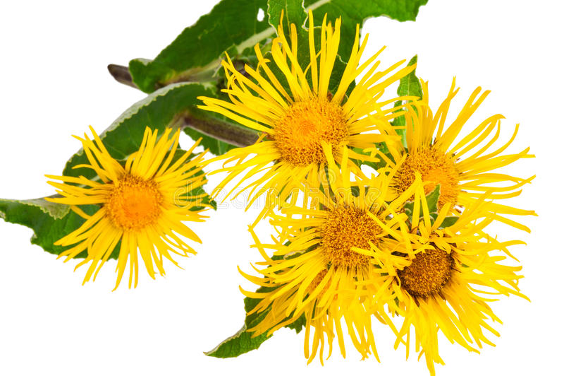 Medicinal plant. Elecampane (Inula helenium) royalty free stock photos