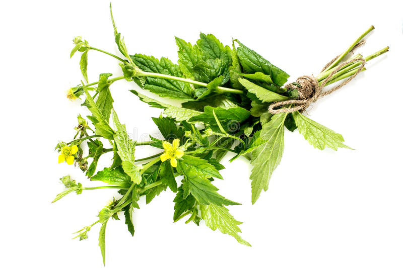 Medicinal plant herb Bennett (Geum urbanum). Medicinal plant Geum urbanum (also known as wood avens, herb Bennet, colewort and St. Benedict's herb). Used in stock photo