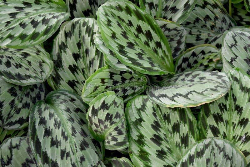 Medicinal plant - MARANTHACEAE , Calathea picturata (Linden) K.Kosh & Linden cv.Vandenheckei royalty free stock photography