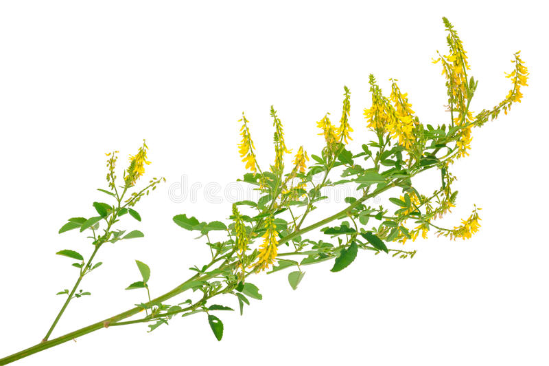 Medicinal plant: Melilotus officinalis (Yellow Sweet Clower). On white background royalty free stock photos