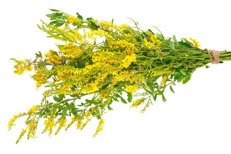 Medicinal plant: Melilotus officinalis (Yellow Sweet Clower). On white background stock photos