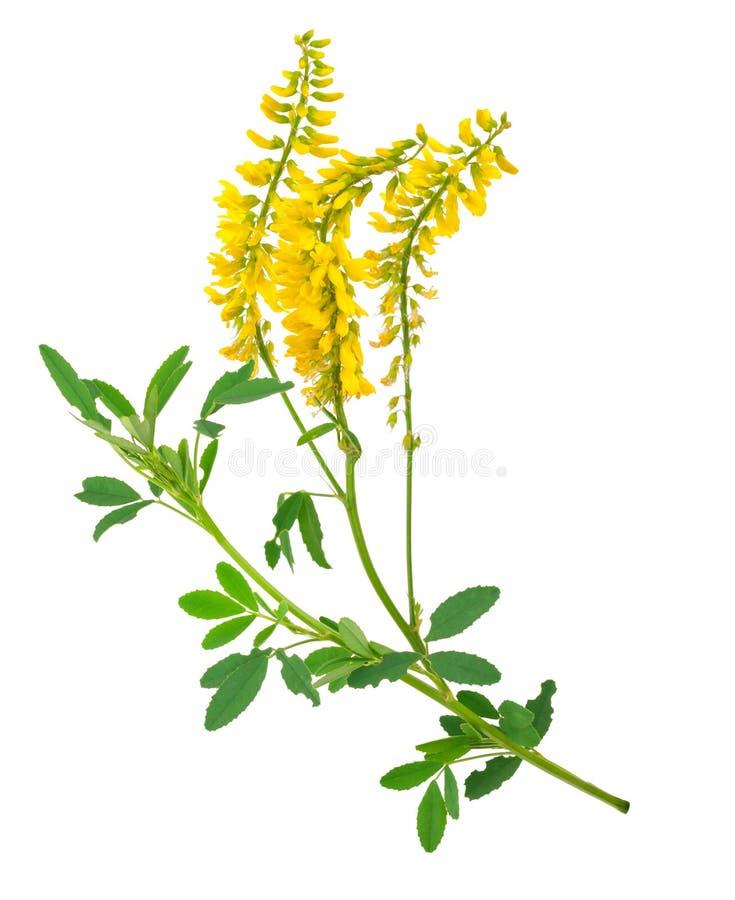 Medicinal plant: Melilotus officinalis Yellow Sweet Clower. On white background stock photos