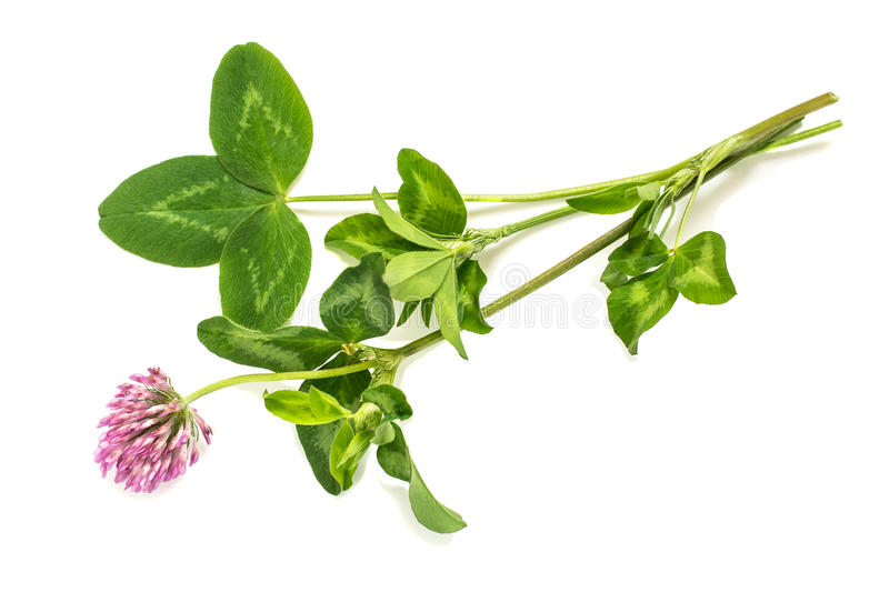 Medicinal plant Red clover (Trifolium pratense). On a white background. Used in herbal medicine, cooking, to animal feed, honey plant stock images