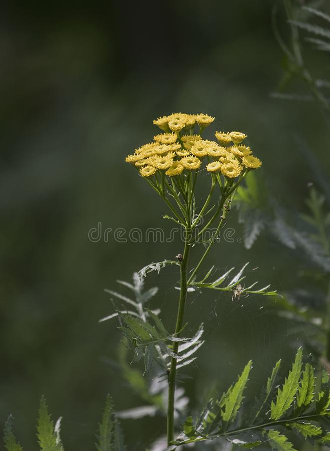 Medicinal plant Tansy with small yellow flowers. In one inflorescence growing in a field royalty free stock photos