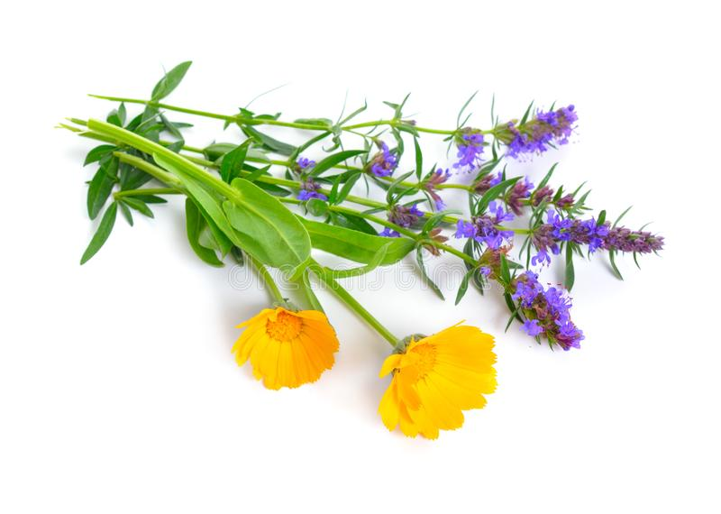 Medicinal plants Calendula and Hyssop. Isolated on white.  stock photography