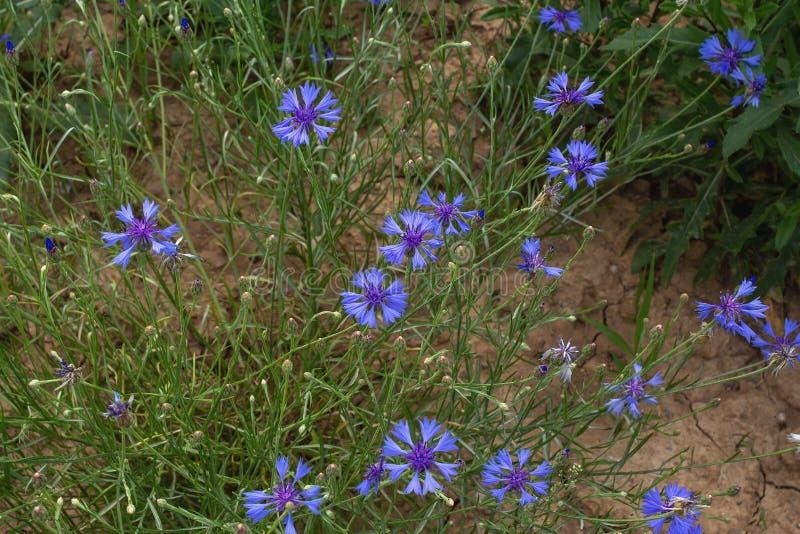 Medicinal plants - cornflower blue Centaurea cyanus stock photo
