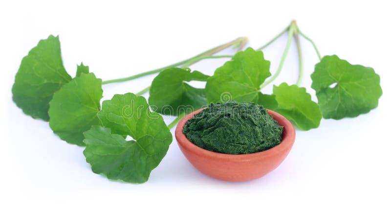 Medicinal thankuni leaves royalty free stock photo