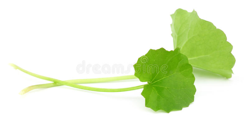 Medicinal thankuni leaves of Indian subcontinent stock photography
